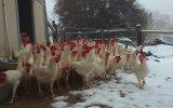 İlk Kez Kar Gören Tavuklar
