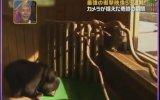 Aşırı Tırsık Japon Ayısı