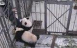 Bakıcısına Sarılıp Bırakmayan Panda