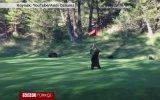 Yavru Ayının Golf Sahasındaki Dans Keyfi
