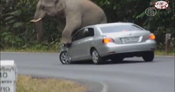 Trafikte Sinirlenen Fil Arabaların Üzerine Oturdu