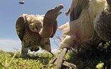 Bir Leşin Gözünden Akbaba Saldırısı