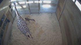 Zürafanın Doğum Anını Gördünüz Mü ?