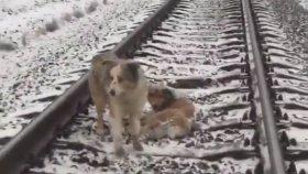 Tren Rayları Üzerinde Zor Durumda Kalan Arkadaşını Yalnız Bırakmayan Köpek
