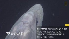 İlk Kez Görüntülenen Hayalet Köpekbalıği