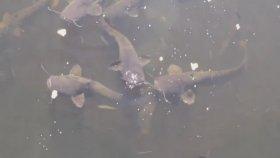 Çernobil Faciasının Yaşandığı Bölgedeki Devasa Yayın Balıkları