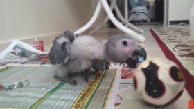 Bebek Jako Papağanı Sahibiyle Oyun Oynuyor
