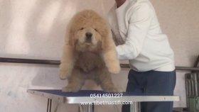 yavru - tibet - mastif - fiyatları