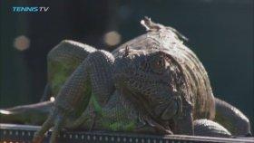 Tenis Kortuna Giren İguana Karşılaşmayı Durdurdu