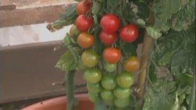 Domatesi ile Patatesi Aynı Bitkide Yetiştirmek