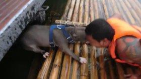 Sahibinin Boğulduğunu Zannedip Tereddüt Etmeden Suya Atlayan Köpekler