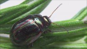 İngilizin baş belası böcek - Chrysolina