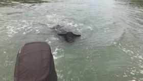 Sinirli Bufalo'nun Balıkçılara Saldırması