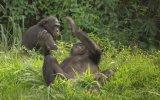 Bonobos Fragman